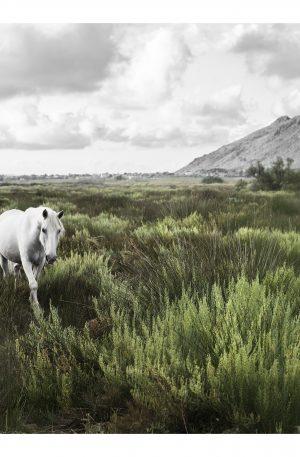 VILDMARK | POSTER | Vit vildhäst i vildmarken